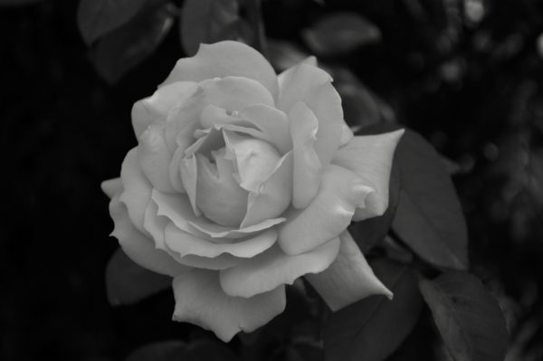 B/W Tea Rose by Nick18