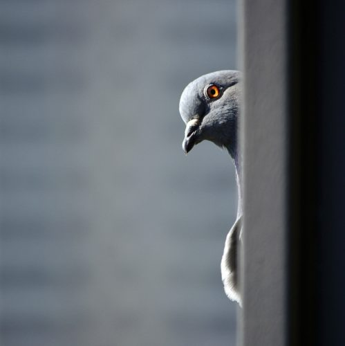 Pigeon Perspective by Better Songs